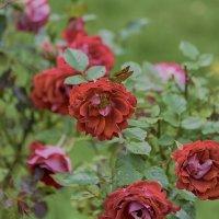 Чайные розы :: Виктор Филиппов