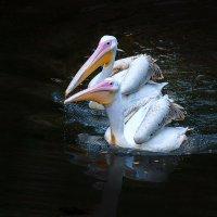 Пеликаны :: Андрей Бондаренко