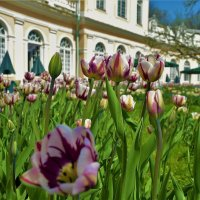 Тюльпаны у Большой Оранжереи... :: Sergey Gordoff