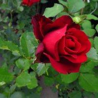 Роза - дар небесный рая, людям посланный на благо :: Андрей Лукьянов