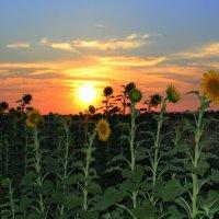 Самые солнечные цветы :: оксана косатенко