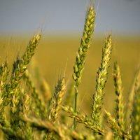 Спеет жито :: Марина