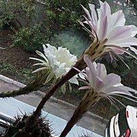 Кактусы цветут-02 :: Сергей Гвоздев