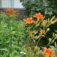Пора цветения лилейников :: Нина Корешкова