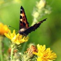 бабочка на цветке :: леонид логинов