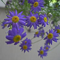 Цветёт брахикома :: Любовь Чунарёва