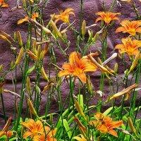 Раскрылись лилии на клумбе, украсив фасад дома :: Маргарита Батырева