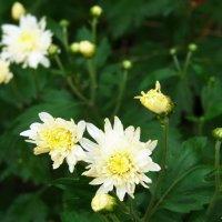 Первые хризантемы... :: Любовь К.