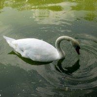 Белый лебедь :: Нина Бутко