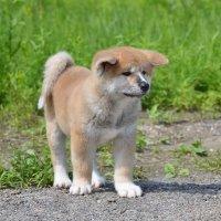 щенок акиты :: Наталия Кожанова