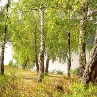летние берёзки :: леонид логинов