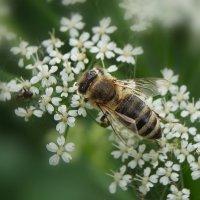 Прилетела в сад пчела... :: kolin marsh