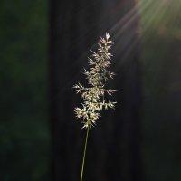 Стоит травинка у сосны... :: Александр Попов