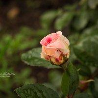 Роза :: Кристина Щукина