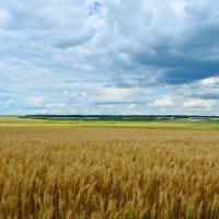 Волнуется желтеющая нива и дальний лес шумит при звуке ветерка :: Татьяна