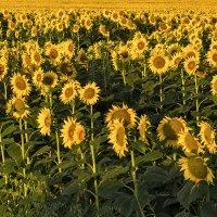 Много солнца...! :: Ирина Шарапова