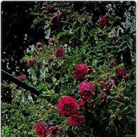 Розовые заросли :: Нина Корешкова