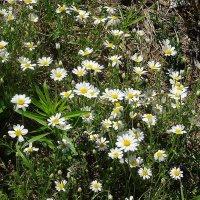 Белые ромашки с жёлтыми глазами на обочине дороги растут :: Маргарита Батырева