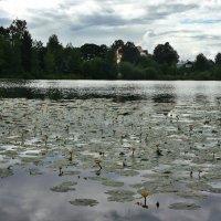 д. Озерки. Большое озеро. Желтая кувшинка - цвет солнца на глади озёрной :: Елена Павлова (Смолова)