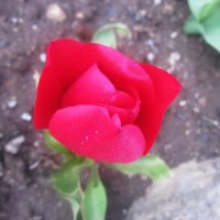 Одинокая роза :: татьяна