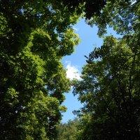 Кроны деревьев на фоне летнего неба :: Tarka
