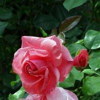 Монастырские розы :: Владимир Бровко