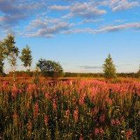 Розовым цветом цветет Иван-чай.. :: Павлова Татьяна Павлова