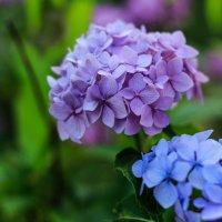 Красавица гортензия. :: Ирина ...............