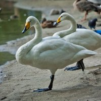 Белые лебеди :: Владимир Габов