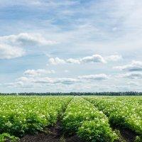 Картофельное поле :: Alex Bush
