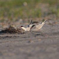 самка роет песок для отложения яиц :: Naum