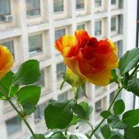 Розы на окне, как интерьер :: татьяна