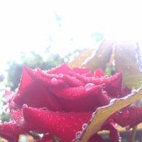 Роза после дождя :: Оксана Романова