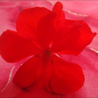 Опавший цветок герани :: Нина Корешкова