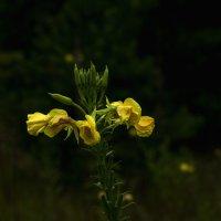 жёлтый цвет :: Яков Реймер