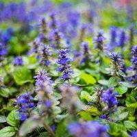 Красивые синие цветочки :: Марина Алексеева
