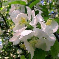 Яблони цветут :: Сергей Карачин