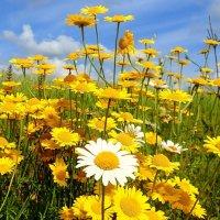 Полевые цвветы :: Геннадий Ячменев