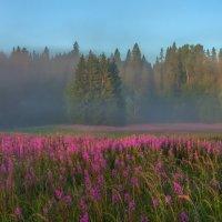 Цветёт иван-чай :: Фёдор. Лашков