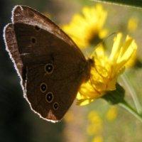 Бабочка на солнечном цветке :: spm62 Baiakhcheva Svetlana