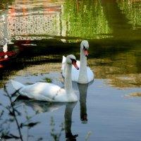 Пара белых лебедей :: Нина Бутко