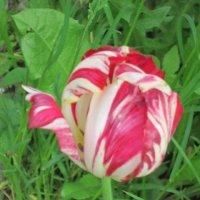 Полосатый тюльпан :: Дмитрий Никитин