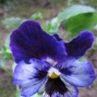 Синенький цветочек :: Дмитрий Никитин