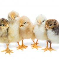 Цыплята :: Alex Bush