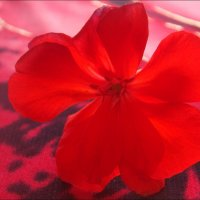 Цветок герани :: Нина Корешкова