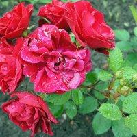 """Роза """"Herald"""" (сорт Херальд). Группа: полиантовые, 1949, de Reiter (Нидерланды) :: Елена Павлова (Смолова)"""