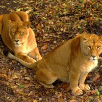Дамочки Льва :: Сергей Карачин