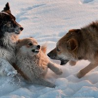 Собачьи игры :: Barguzin_45 Иваныч