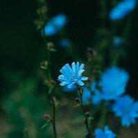 Синие цветы :: Ольга Никонорова