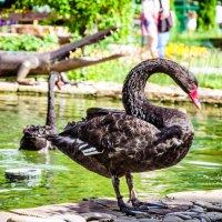 Черный лебедь :: Руслан Тимошенко